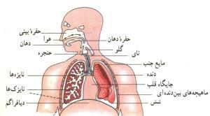 دستگاه تنفس انسان